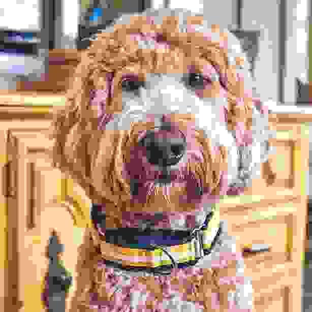 dog wearing orange striped martingale collar