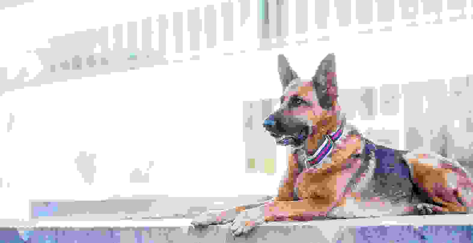 German shepherd with striped martingale collar