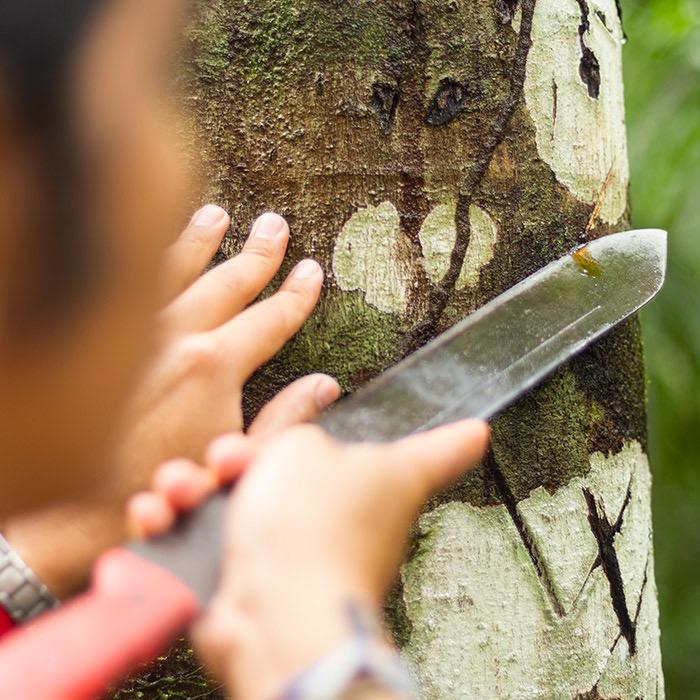 Scaring a Sangre de grado tree for extraction of sap.